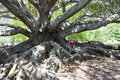 Ficus Tree, huge ficus tree with children climbing over roots Royalty Free Stock Photo