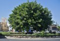 Big ficus tree in the center of limassol cyprus Royalty Free Stock Image