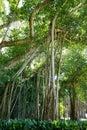 A big ficus tree in the John Ringling Museum, sarasota, FL Royalty Free Stock Photo