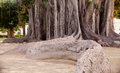 Big ficus tree in Palermo Stock Images
