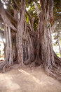 Big ficus tree in Palermo Stock Photos