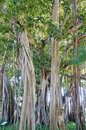 Big ficus trees in the John Ringling Museum, sarasota, FL Royalty Free Stock Photo