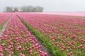 Big field with numerous of red and purple tulips Stock Photos
