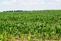 Big field with young plants of corn Royalty Free Stock Photo