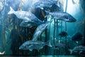 Big fish swimming in a tank illuminate with algae at the aquarium Stock Photo