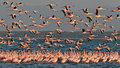 Big flock pink flamingos flies over the lake Royalty Free Stock Image