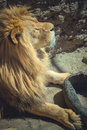 Big fluffy lion lying down and basking in the sun Royalty Free Stock Photo