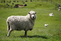 Big fluffy sheep or lamb grazing green fields Royalty Free Stock Photo
