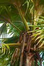 Big Fruit of the male palm of the Sea Coconut Lodoicea maldivica or Coco de Mer with giant green palm leaves. Royalty Free Stock Photo