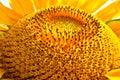 Golden Sun Flower