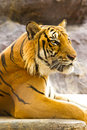 Big golden tiger Royalty Free Stock Photo