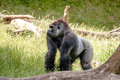 Big gorilla in the grass Royalty Free Stock Photo