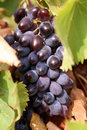 Big grape and leaves Royalty Free Stock Photography