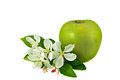 Big green apple with small bunch of apple tree flowers one fresh isolated on white background Stock Photos