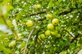 Green Apple Tree Royalty Free Stock Photo