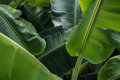 Big green banana leaves in Asia Royalty Free Stock Photo