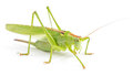 Big green grasshopper isolated Royalty Free Stock Photo