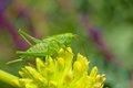 Big green grasshopper sitting on wild flower Royalty Free Stock Photos