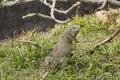 Big green iguana climbing on grass Stock Photo