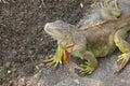 Big green iguana climbing on the ground Stock Images