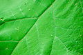 Big green leaf in close up Royalty Free Stock Images