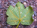 Big green leaf on a gravel treking path during raining Royalty Free Stock Photo