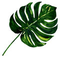 Big green leaf of Monstera plant, isolated on Royalty Free Stock Photo