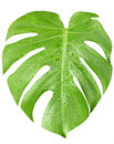 Big green leaf of Monstera plant with water drops Royalty Free Stock Photo