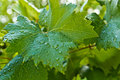 Big green leaves of grapes Royalty Free Stock Photo