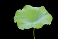 Big green lotus leaf isolated on white. Saved with clipping path Royalty Free Stock Photo