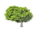 Big green lush tree isolated on white background Royalty Free Stock Photo