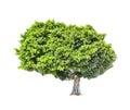 Big green lush tree isolated on white background Royalty Free Stock Photo