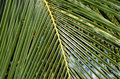 Big and green palm leaf close-up detail photo Royalty Free Stock Photo