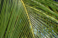 Big and green palm leaf detail photo Royalty Free Stock Photo