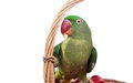 Big green ringed or alexandrine parrot on white background Stock Photos