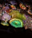 Giant Green Sea Anemone Hanging from a Rock Royalty Free Stock Photo