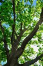 Big green tree Royalty Free Stock Images