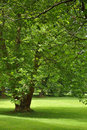 Big Green Tree Stock Photography
