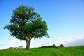 Big green tree fresh field Royalty Free Stock Image