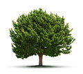 Big green tree isolated juniper on white background Stock Image