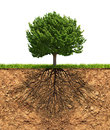 Big green tree with roots beneath in soil growth concept Royalty Free Stock Images