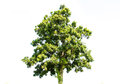 Big green tree on the white background Stock Image