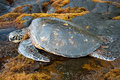 Big green turtle on hawaii view of the Stock Images