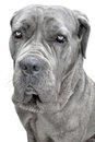 Big grey dog on white Royalty Free Stock Image