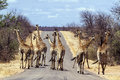 Big group of giraffes in kruger national park south africa specie giraffa camelopardalis family giraffidae Stock Photos