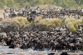 Big group of wildebeest crossing the river Mara Stock Photography