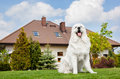 Big guard dog sitting in front of the house. Polish Tatra Sheepdog Royalty Free Stock Photo