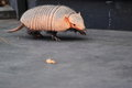 Big hairy armadillo strolling on the wooden plattform Stock Photo
