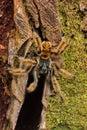 Big hairy bird spider Royalty Free Stock Photo