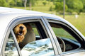 Big happy dog sticking head out car window smiling going for ride Royalty Free Stock Photo